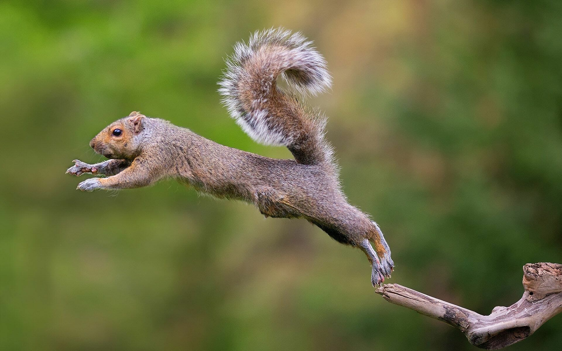 how far can a squirrel jump
