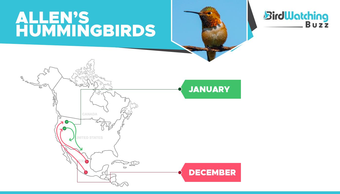 Allen's Hummingbird migration