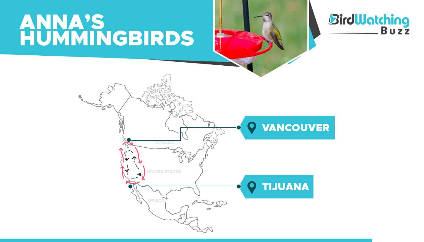 Anna's Hummingbird migration