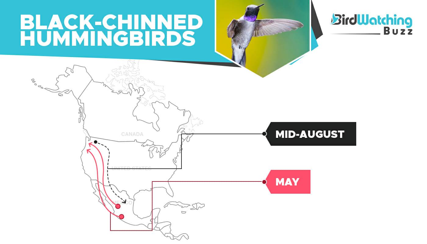 Black Chinned Hummingbird migration