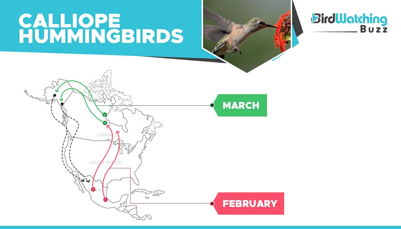 Calliope Hummingbirds migration