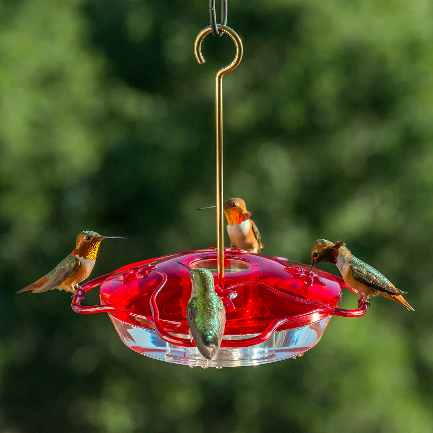 feed hummingbirds sugar water