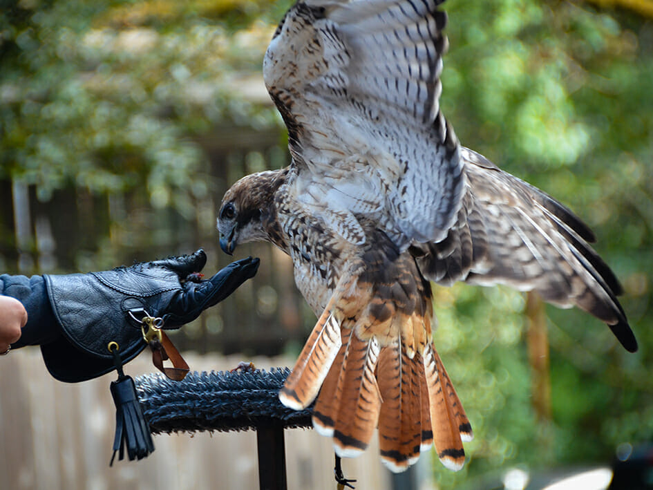how big is a red tailed hawk