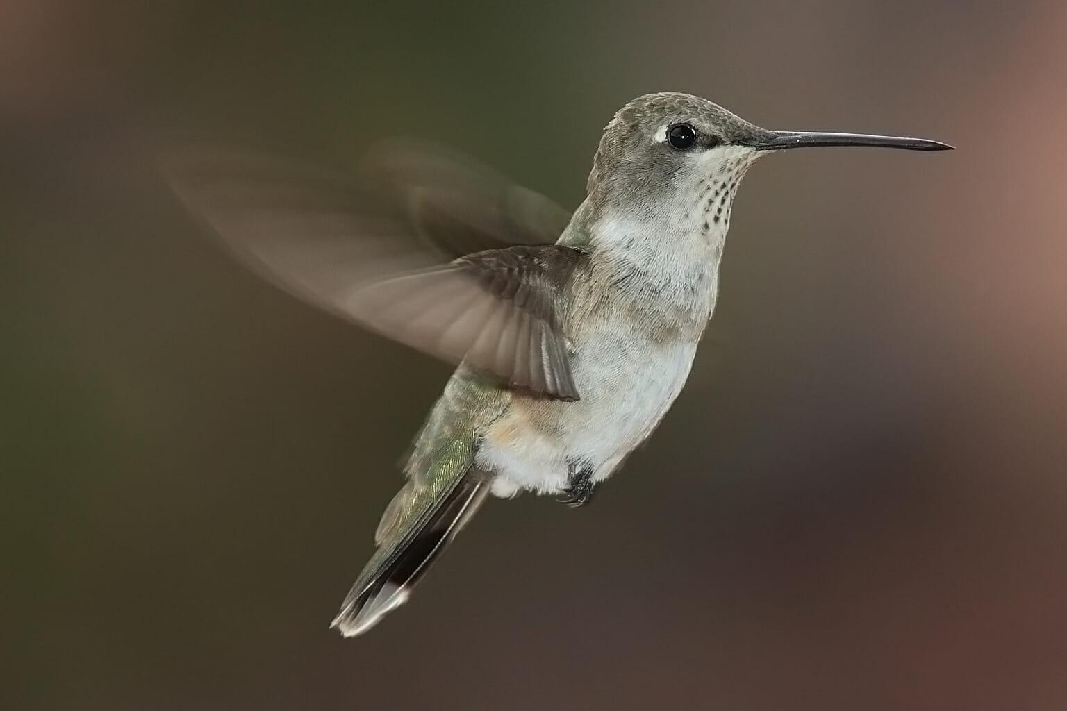 how long do hummingbirds live