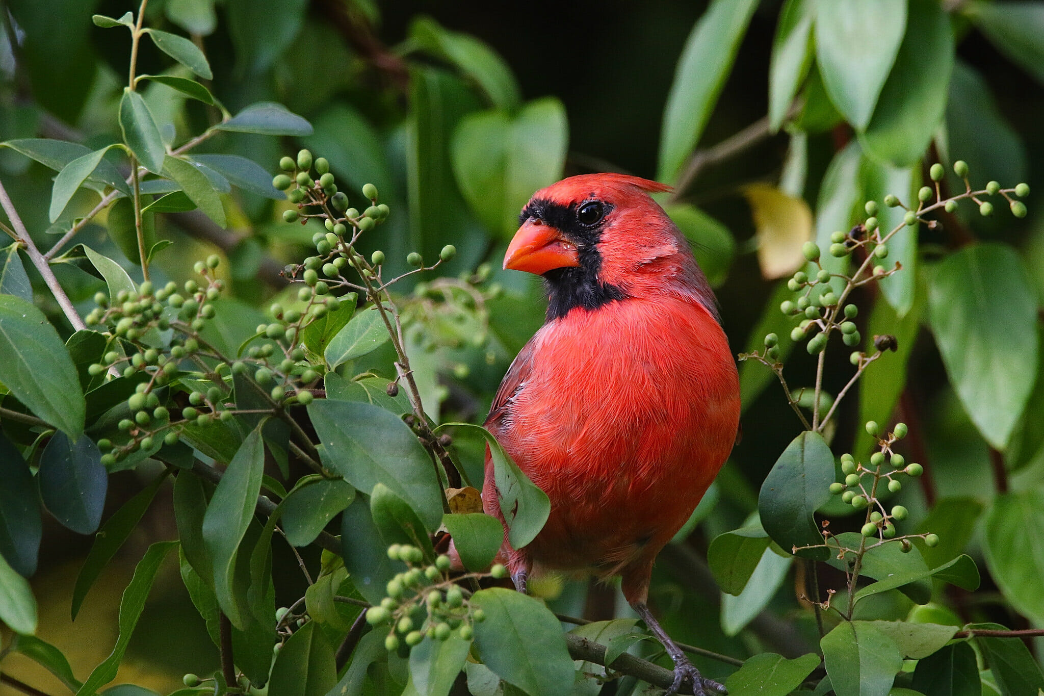 how many states have the cardinal as the state bird