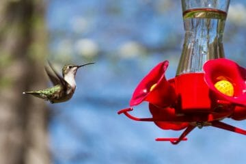 hummingbirds sugar water