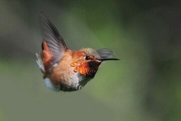 when do hummingbirds migrate south