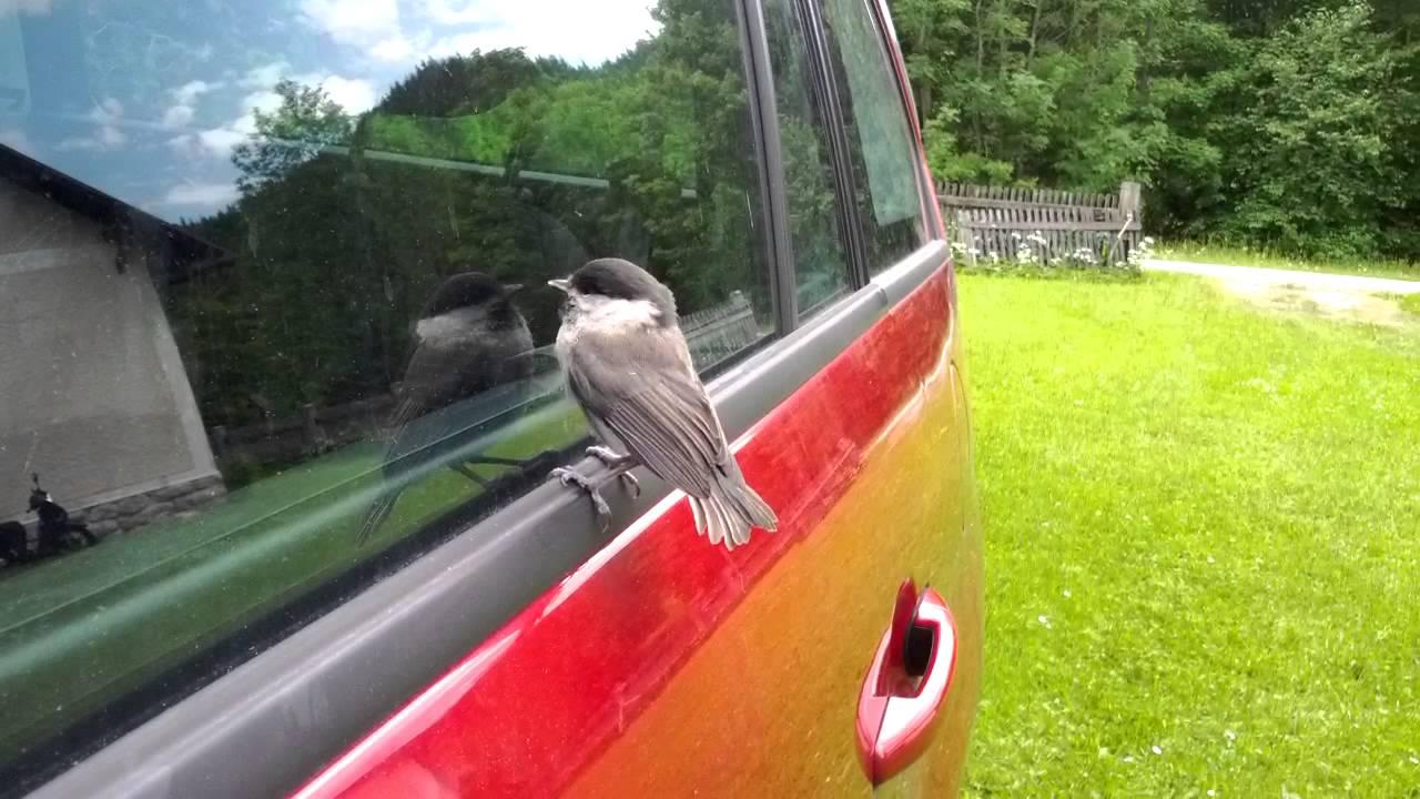 Why Do Birds Always Peck On Windows? | Birdwatching Buzz