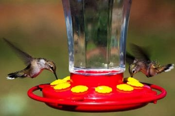 why do hummingbirds stop visiting feeders