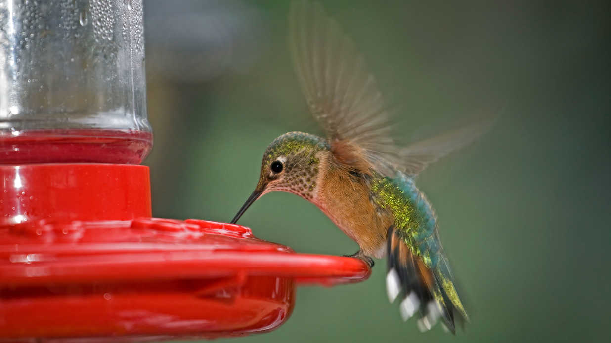 why is hummingbird food red
