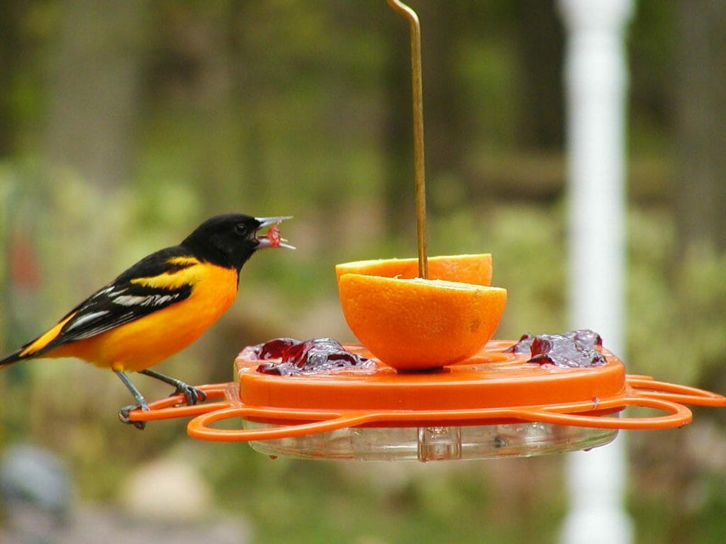 can hummingbirds use oriole feeders