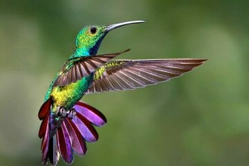 do hummingbirds change color