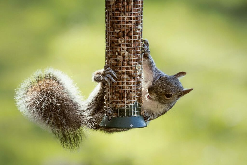 what can you put in bird seed to keep squirrels away