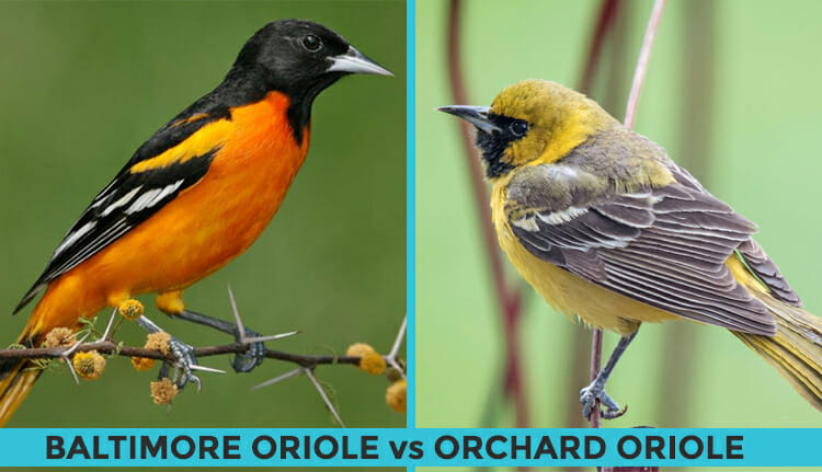orchard oriole vs baltimore oriole