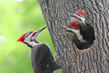 do woodpeckers mate for life