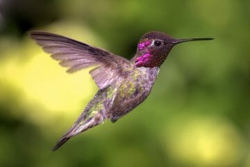 how does a hummingbird protect itself