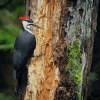 why do woodpeckers peck wood