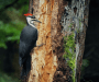 Why Do Woodpeckers Peck Wood? [Food, Nesting & Territory]