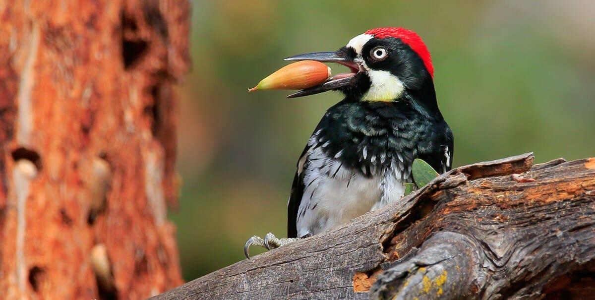 woodpecker ultimate guide