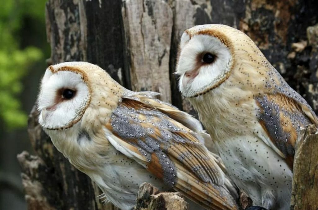 barn owls mating