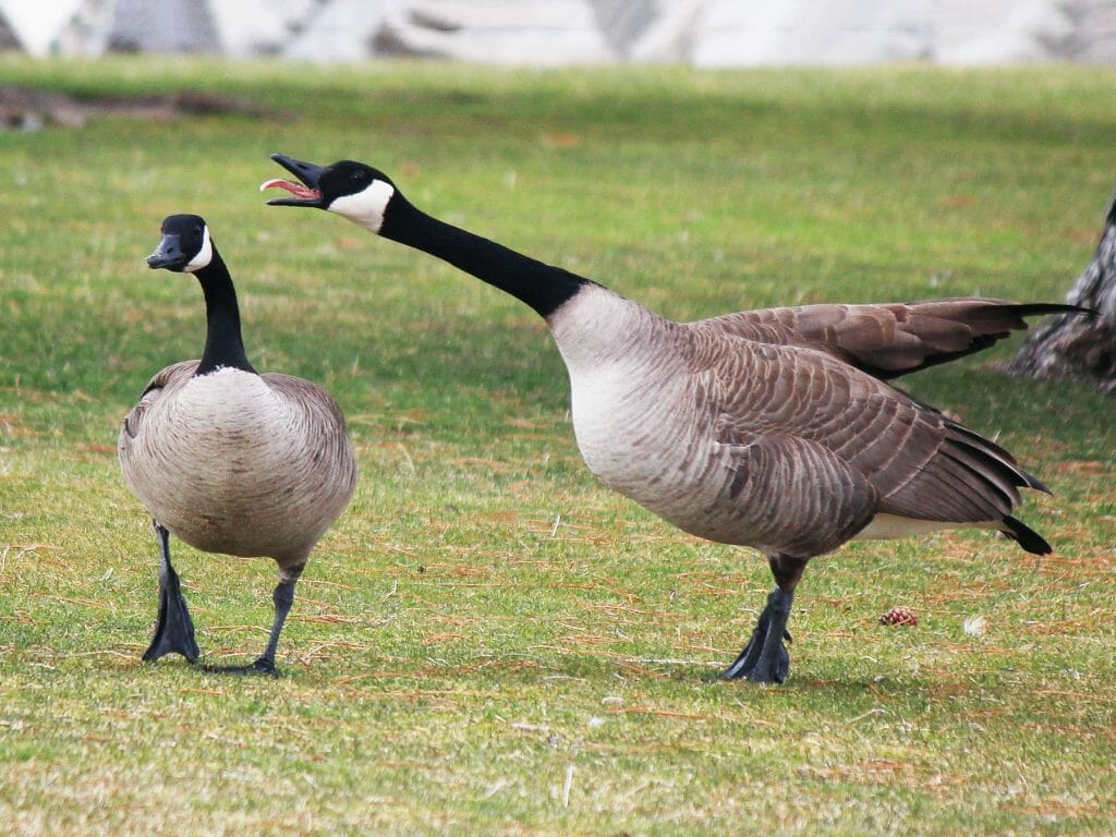 canada geese mating