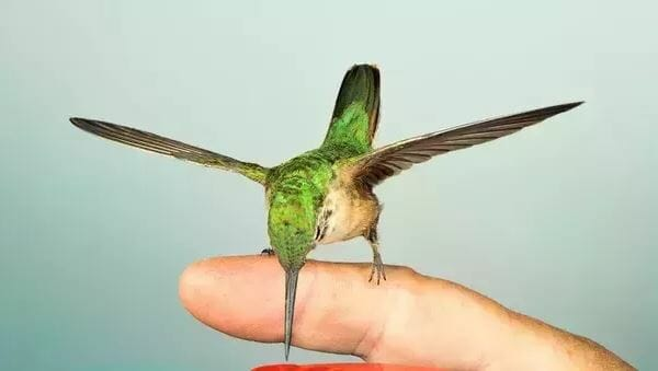 hummingbirds as pets