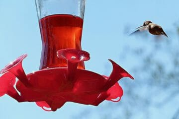 is red dye bad for hummingbirds