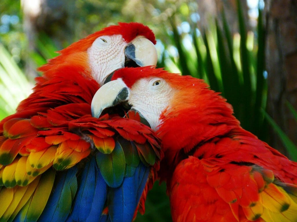 scarlet macaw mating