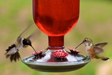when to stop feeding hummingbirds