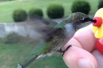 are hummingbirds friendly to humans