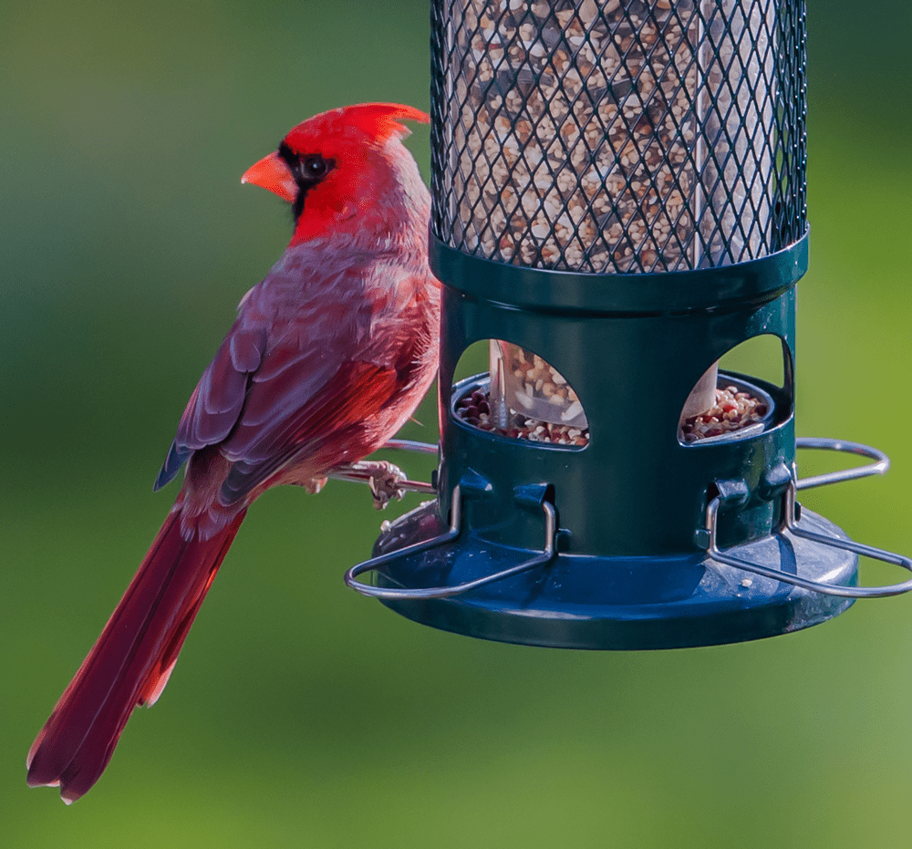 best bird feeder for cardinals