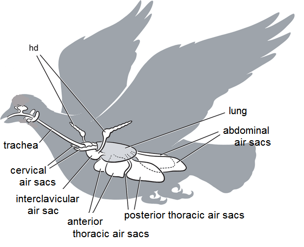 bird air sac