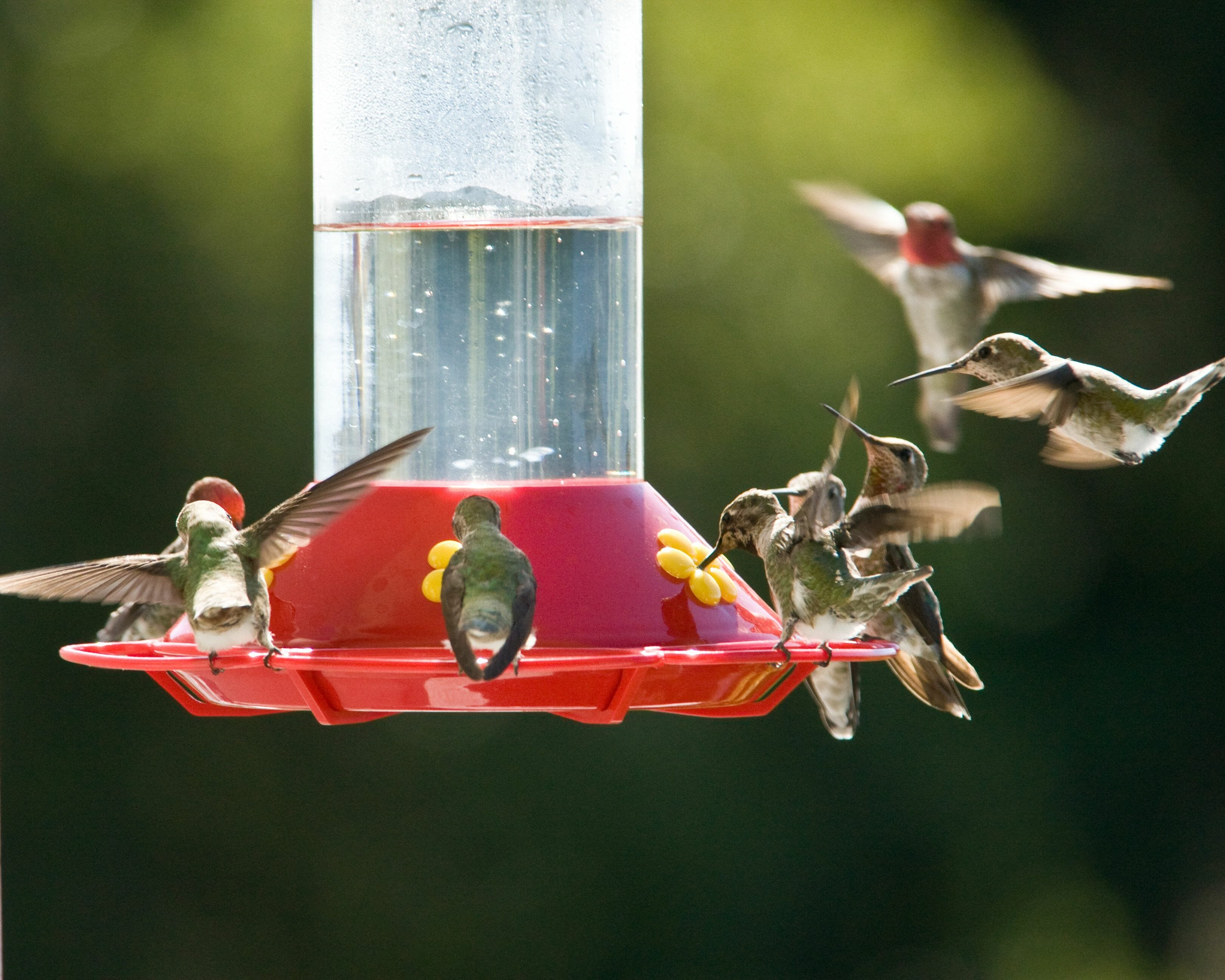 do hummingbirds return to the same place every year