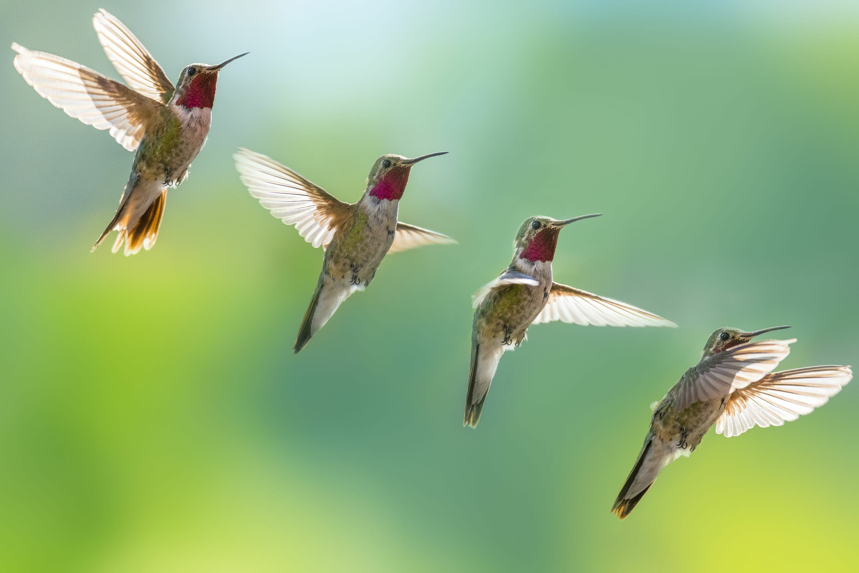 are hummingbirds endangered