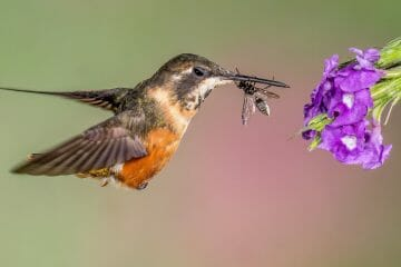 do hummingbirds eat bugs