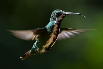hummingbird beak