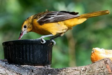when to feed orioles mealworms
