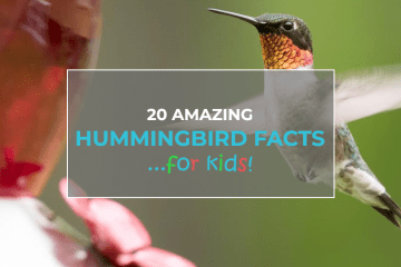 hummingbird facts for kids