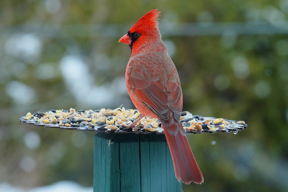 are cardinals endangered