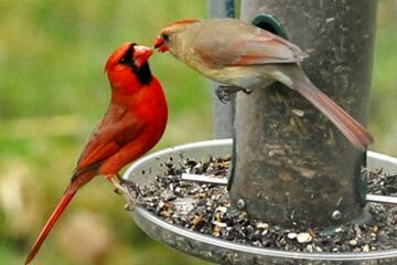 are cardinals territorial