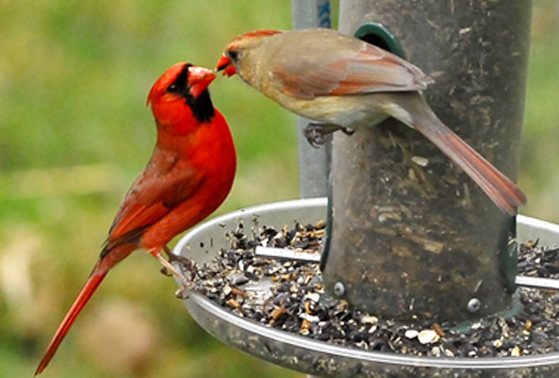 are cardinals territorial