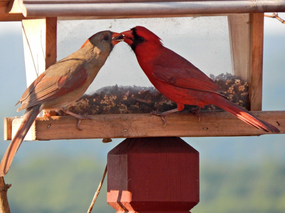 do cardinal birds mate for life
