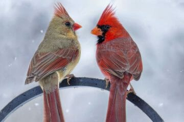 males vs female cardinal
