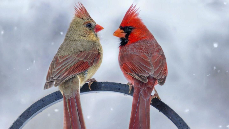 males vs female cardinal