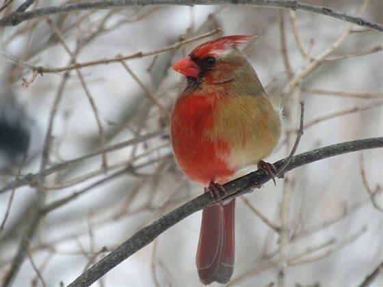 rare cardinal