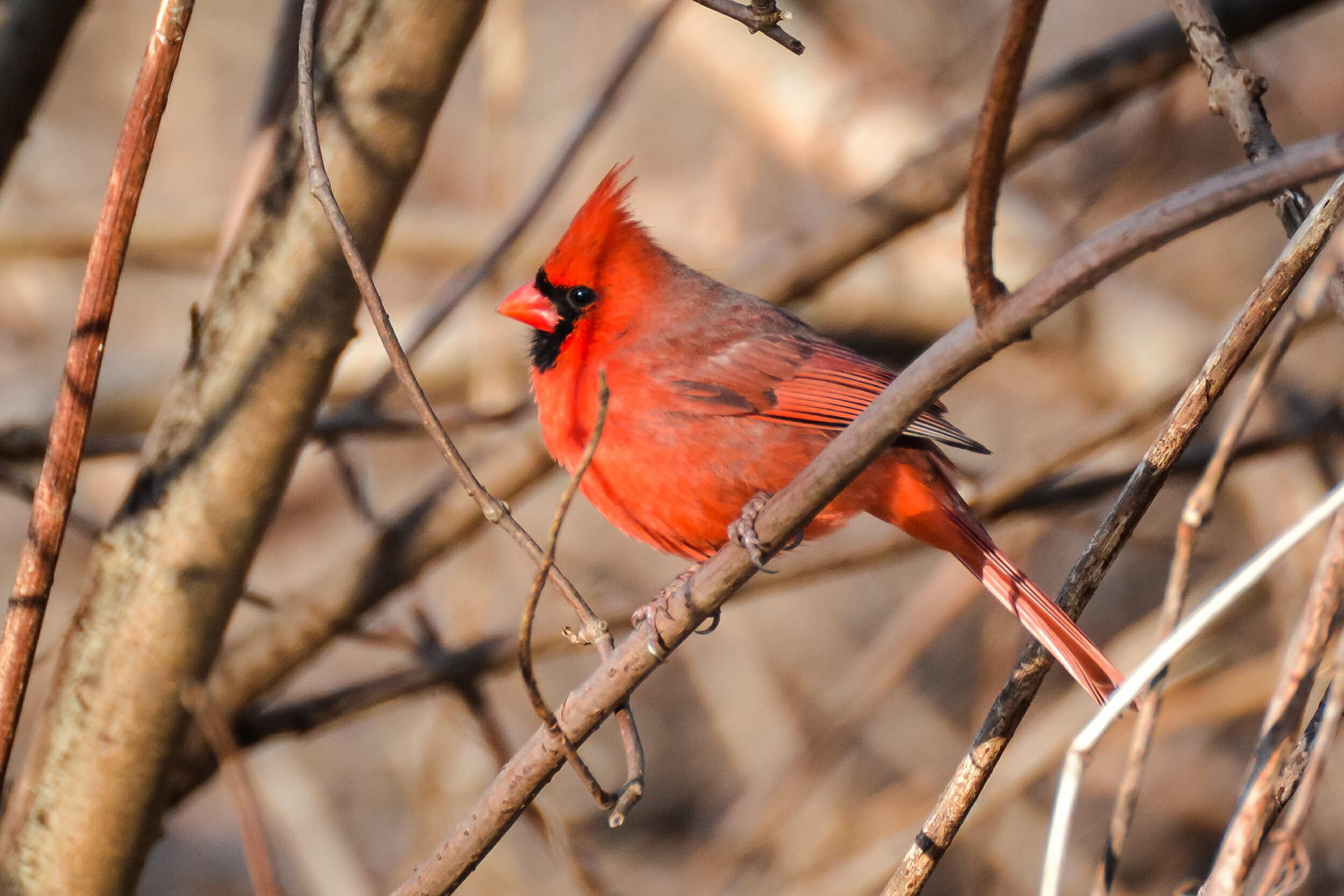 when do cardinals lay eggs