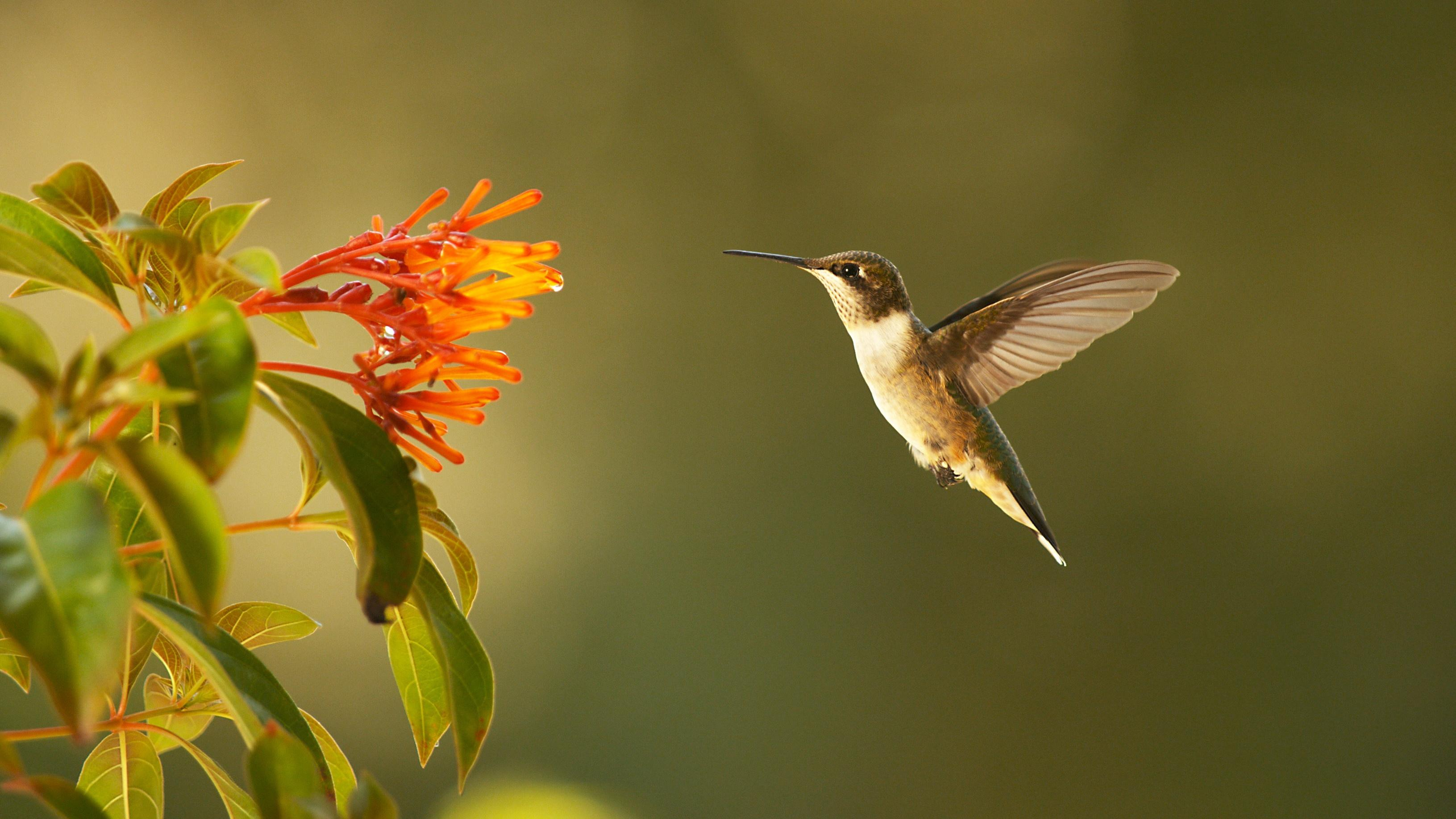 can hummingbirds fly backwards