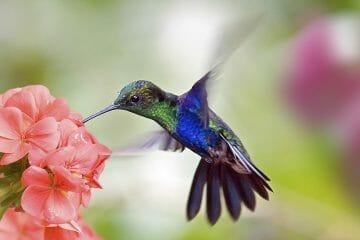 do hummingbirds pollinate