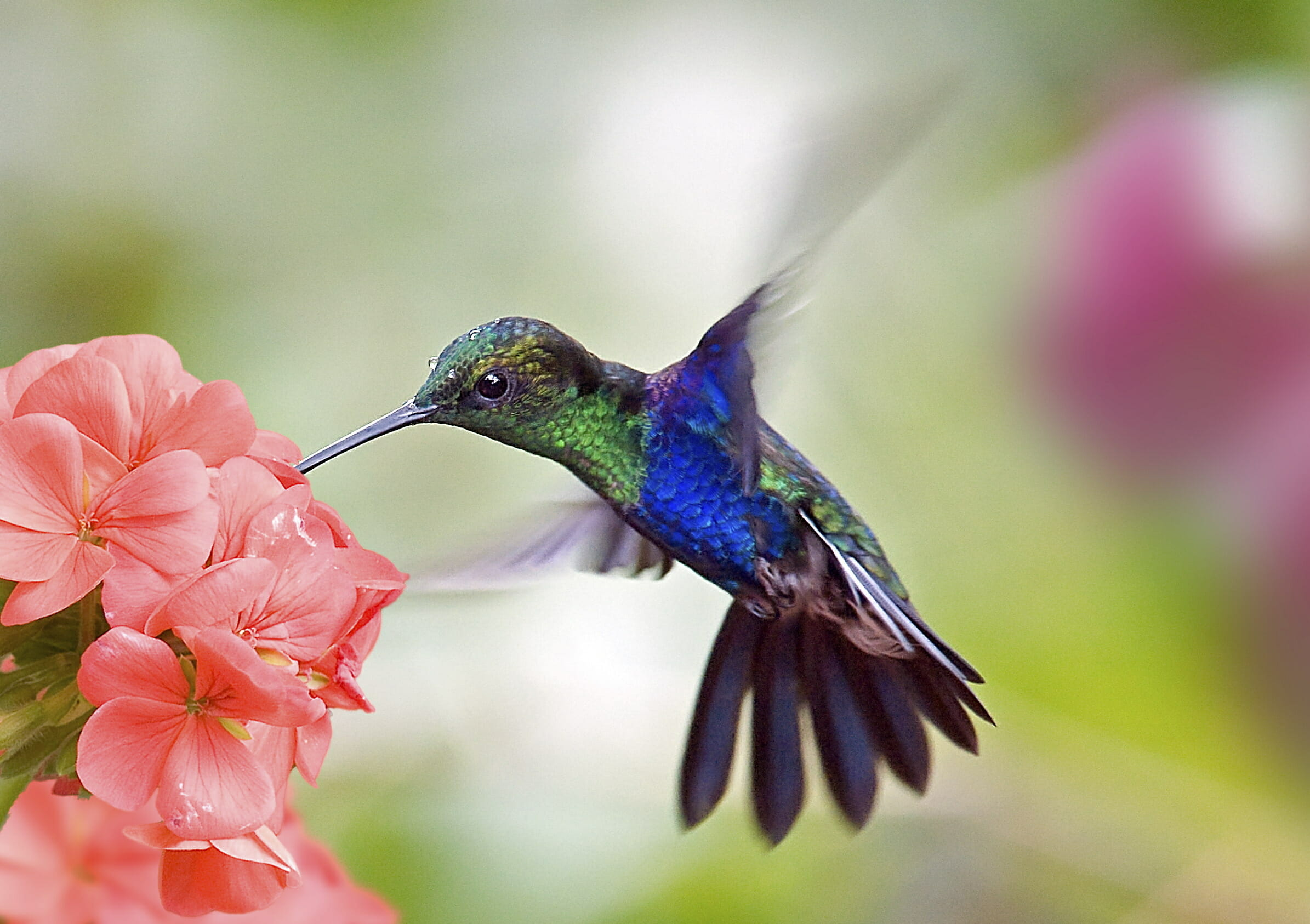 do hummingbirds pollinate