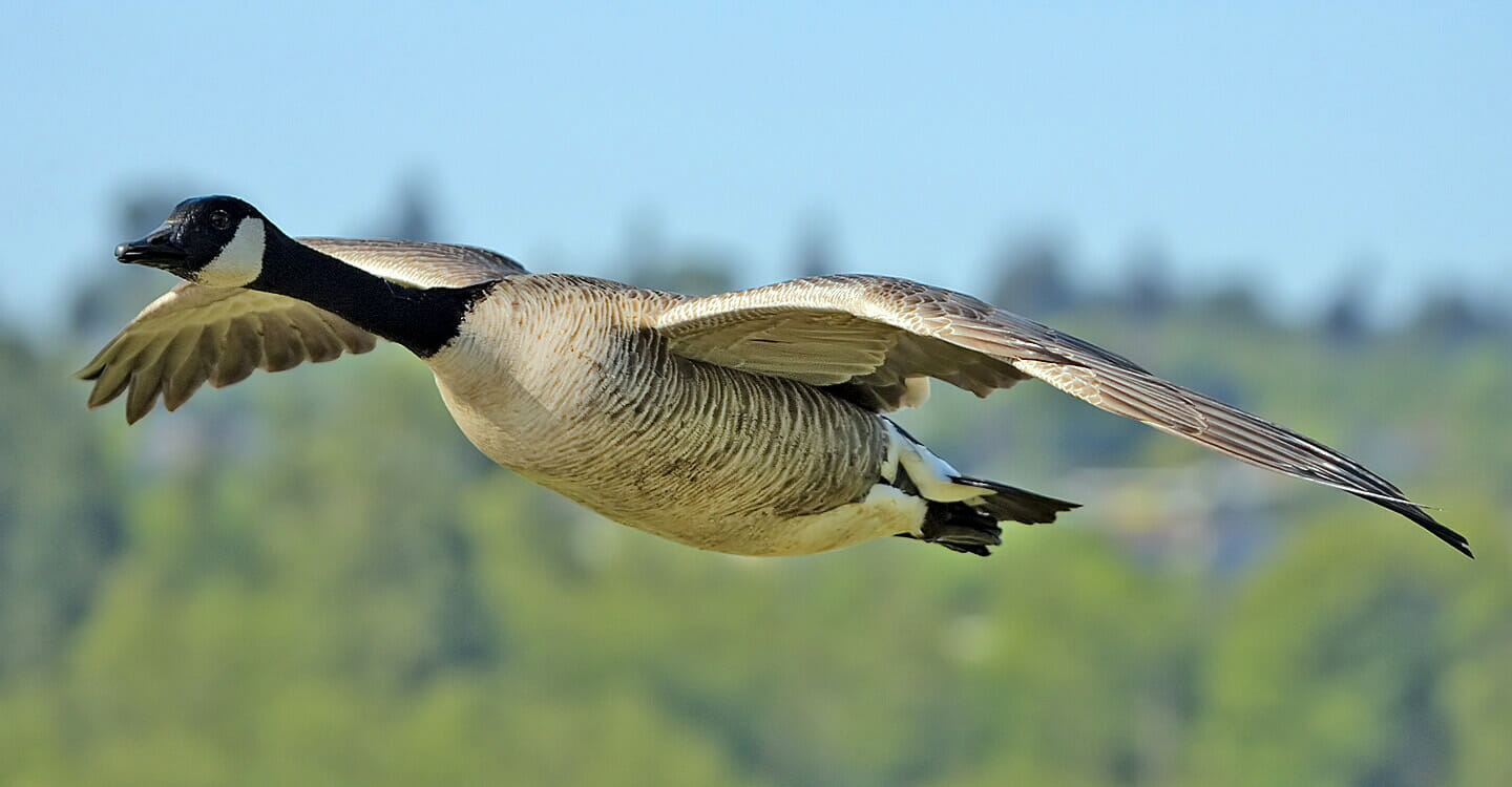 do hummingbirds migrate on the back of geese